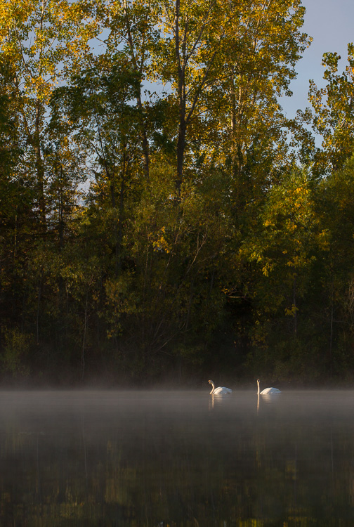 Swan Michigan misty lake - Four Ways to Get Frame-Filling Shots in Bird Photography
