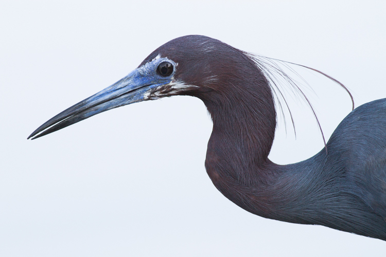 Little Blue Heron portrait - Four Ways to Get Frame-Filling Shots in Bird Photography