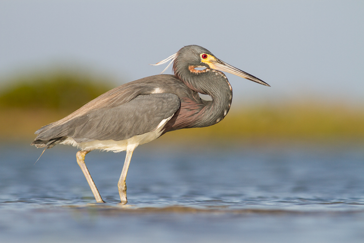 tricolored heron bird photography