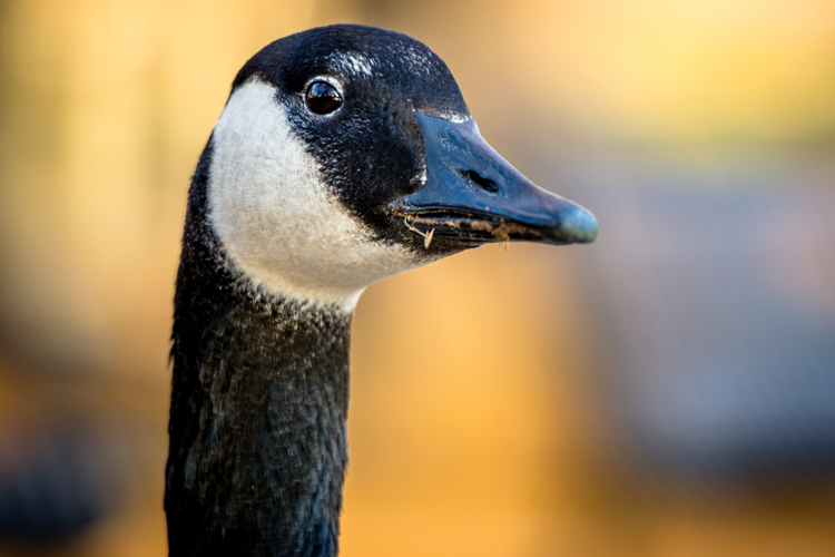 How to Understand Your Camera's Exposure Compensation Feature - photo of a goose