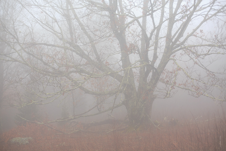 How to Control Mood in Your Foggy Photos - lower contrast tree image