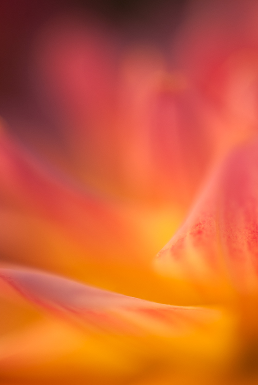 dahlia macro photography colorful