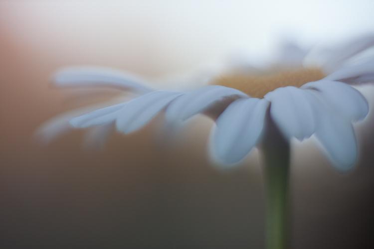 freelensing daisy macro photography
