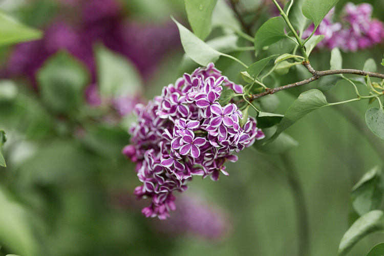 6 Quick Tips for Doing Summer Photography - purple flowers