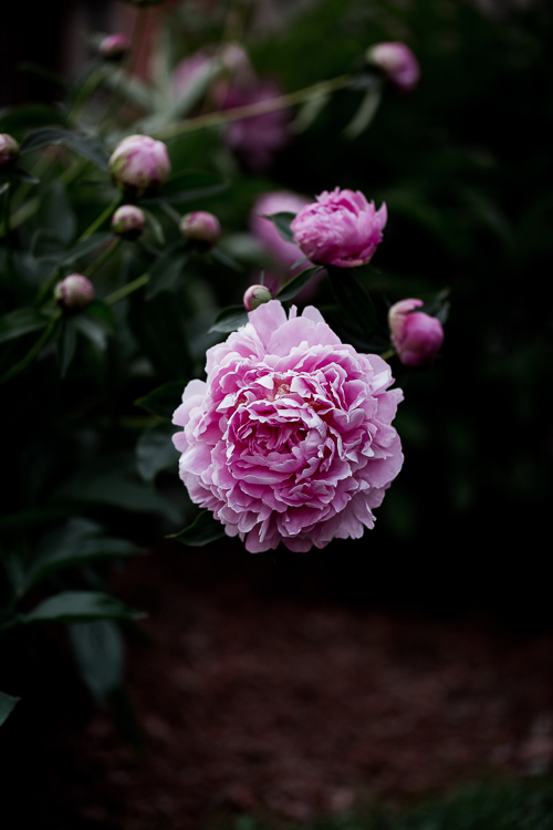 peony - 6 Quick Tips for Doing Summer Photography