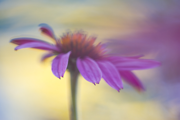 macro photography abstract coneflower Sigma 150mm macro lens