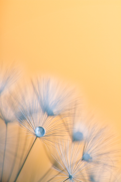 macro photography abstract dandelion Sigma 150mm - How to Choose the Perfect Macro Lens