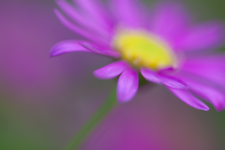 macro photography abstract purple flower - How to Choose the Perfect Macro Lens