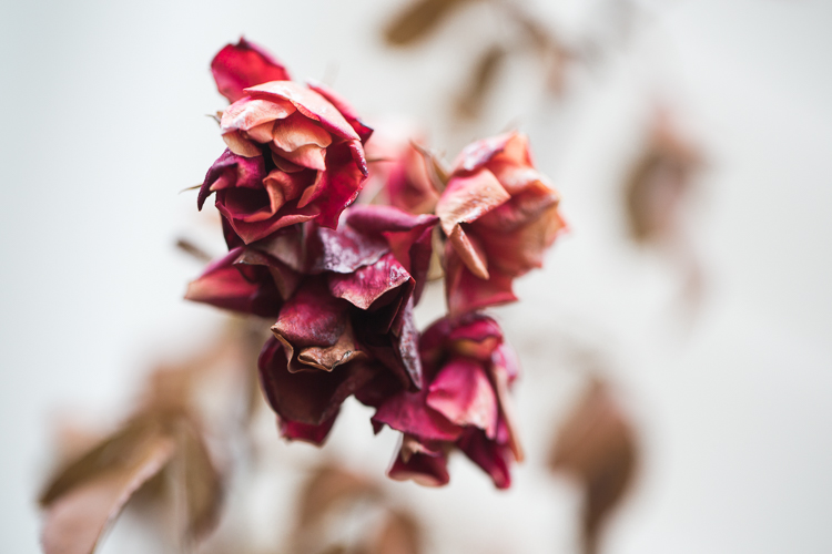 Spot coloring in photography - dried roses against a white backdrop