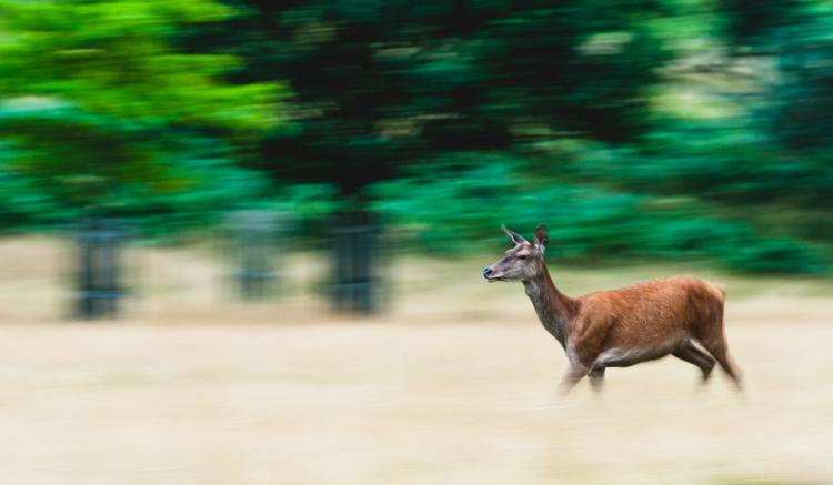 a deer running - wildlife photographer