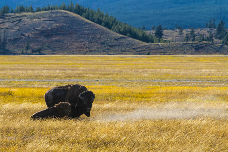 buffalo in a yellow field - Tips for Using Color in Your Photography