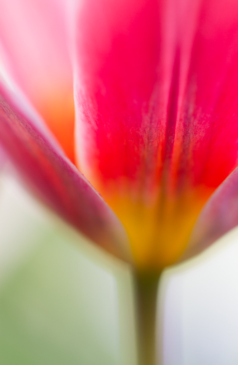 flower photography macro tulip