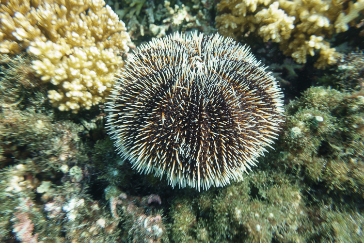 Image: Underwater sea urchin – Costa Rica ISO 125, f/4, 1/60th high-speed burst mode was used