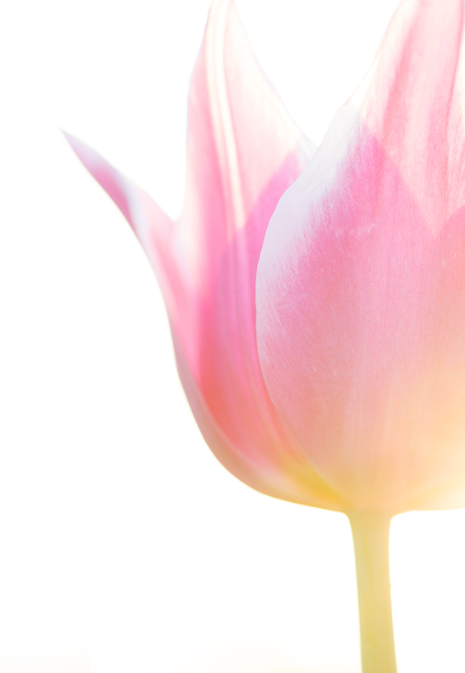flower photography macro tulip - A Beginner's Guide to Photographing Flowers