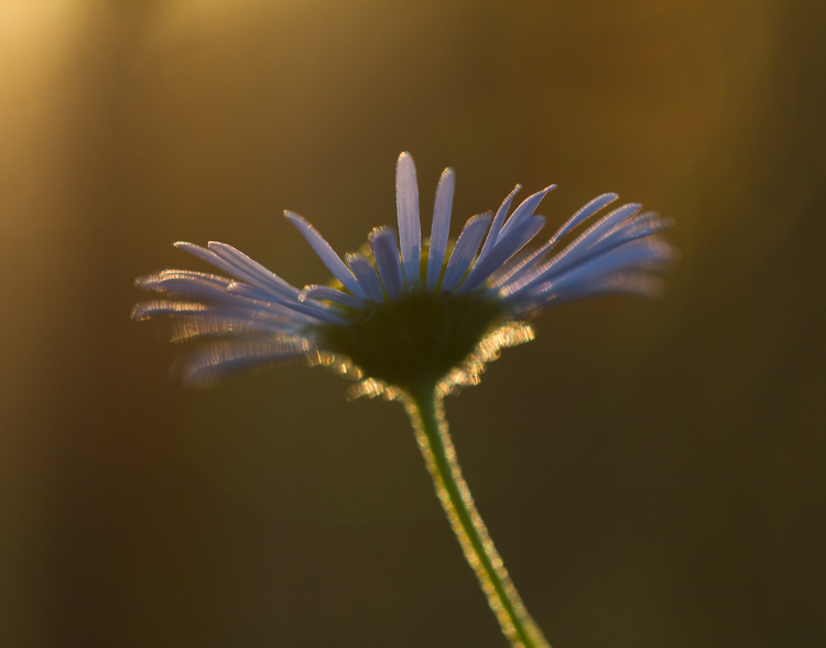 flower aster silhouette - Common Macro Photography Mistakes