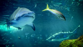 Photo of a shark chasing a fish.