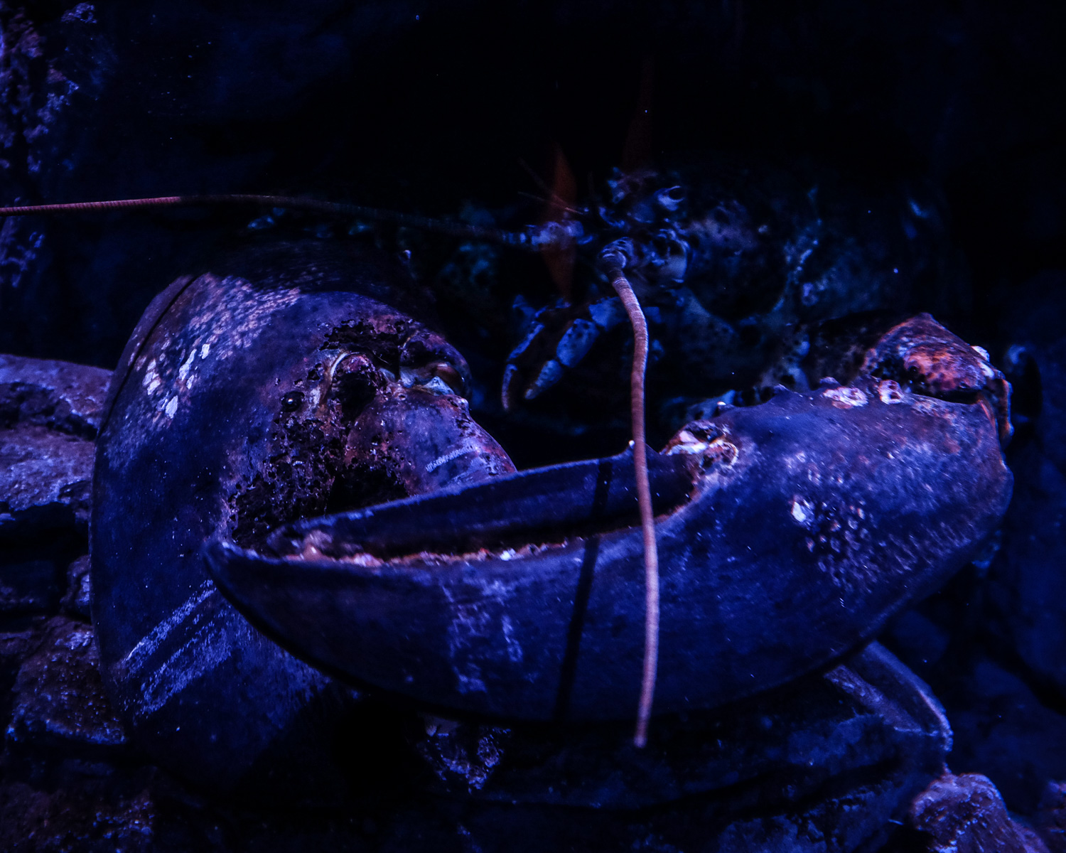 A big lobster with huge claws. How to Take Clear and Creative Photos at Aquariums
