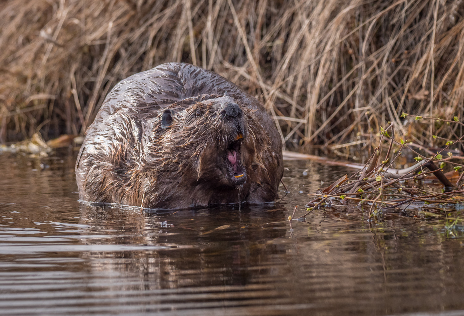 A Guide to Photographing Birds and Wildlife in a Wetland Area - beaver laughing