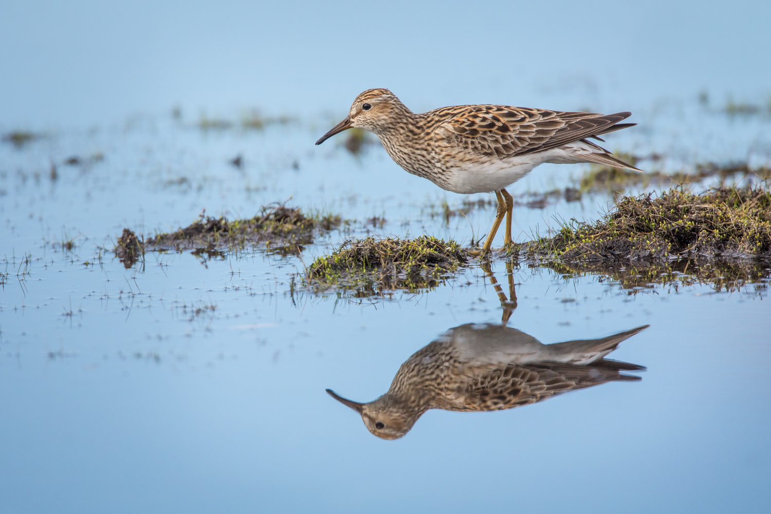 A Guide to Photographing Birds and Wildlife in a Wetland Area - sandpiper in the water