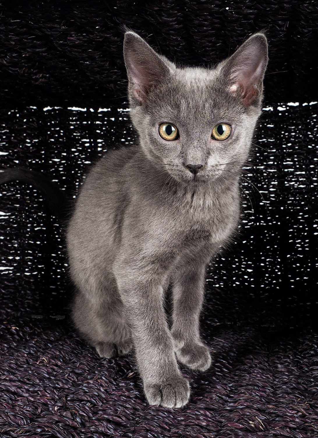 Tips for Great Lighting for Pet Photography - grey kitty