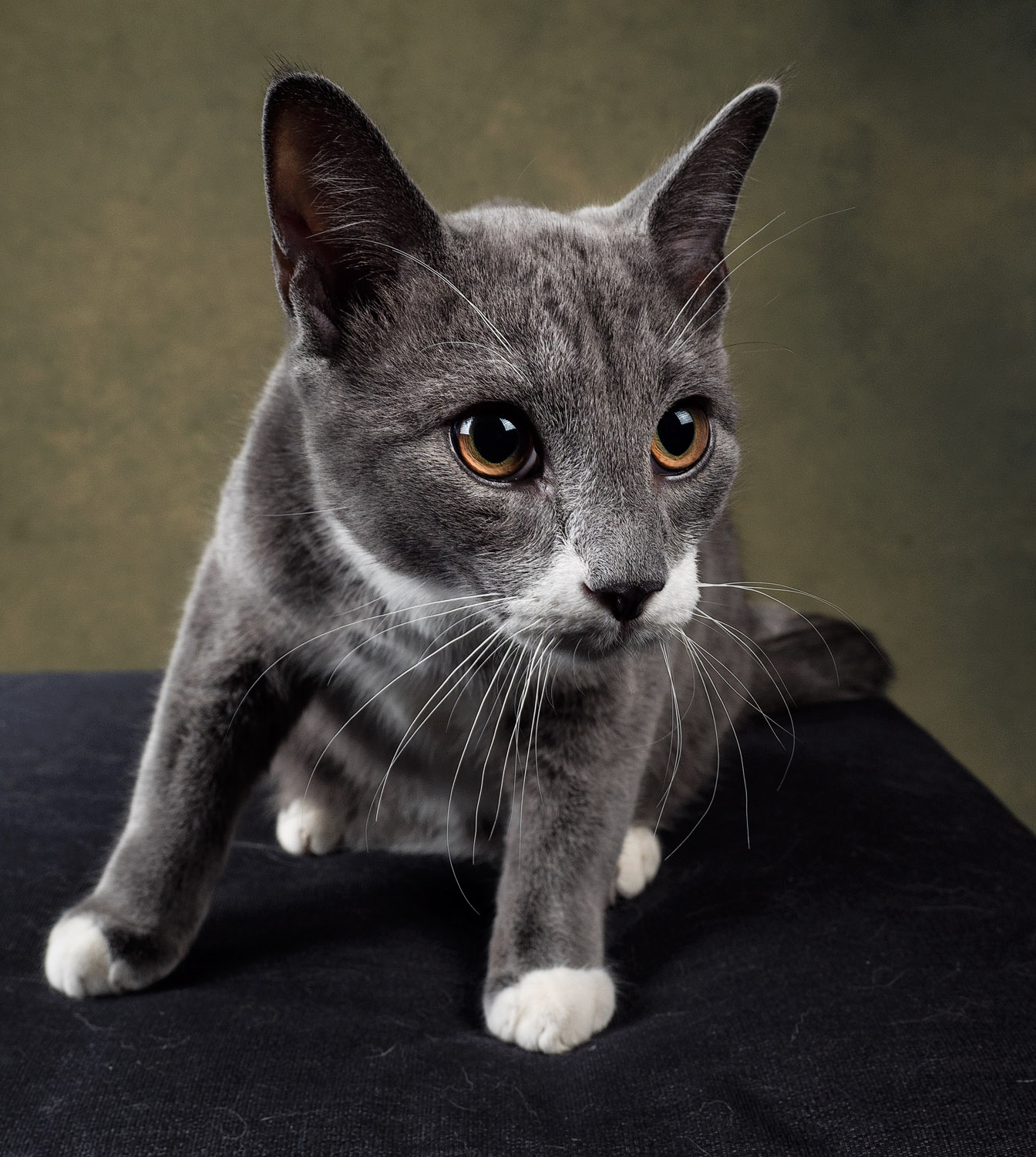 grey and white cat - Tips for Great Lighting for Pet Photography