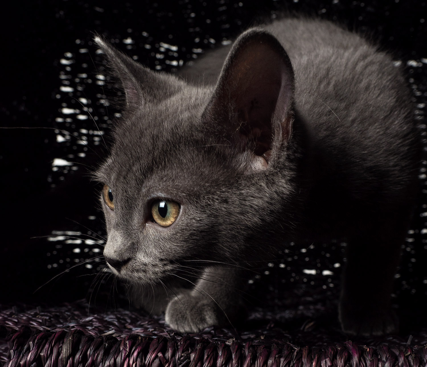 grey cat - Tips for Great Lighting for Pet Photography