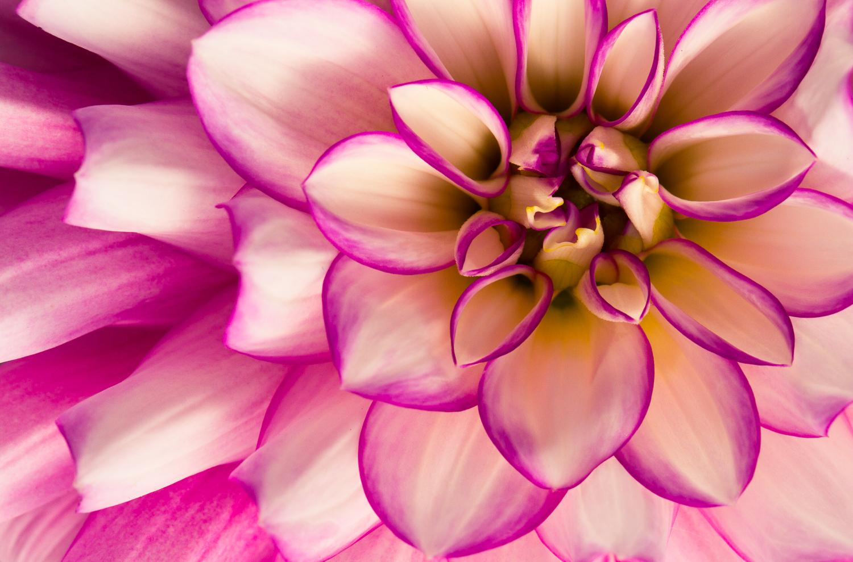 flower macro photography dahlia close up