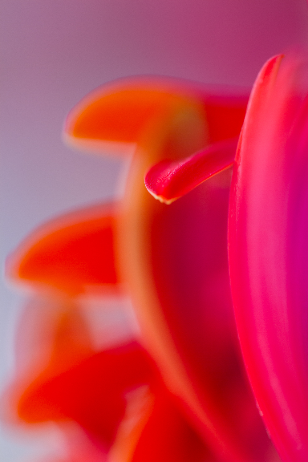 flower macro photography gerbera abstract