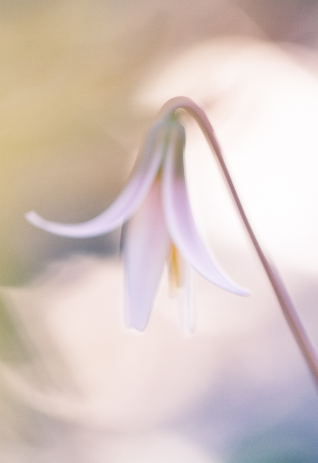 macro photography bokeh flower trout lily - Types of Lighting