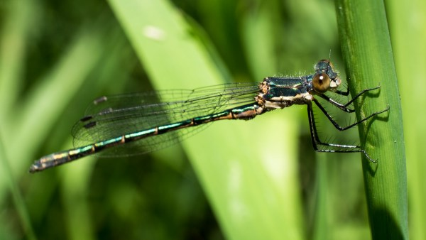 dragonfly damselfly - Micro four-thirds for wildlife