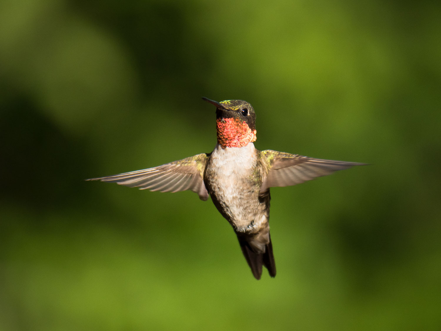hummingbird in flight - Micro four-thirds for wildlife