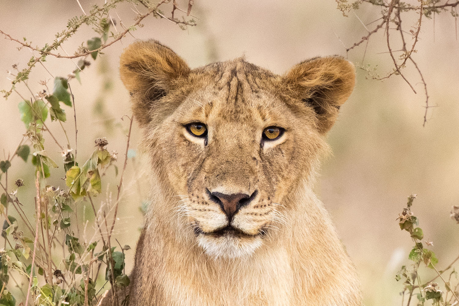 6 Tips to Capture Wildlife Photography with Impact - lioness