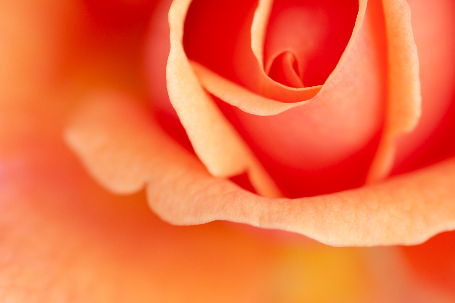 rose abstract - 5 Ways to Make Extraordinary Photographs of Ordinary Subjects