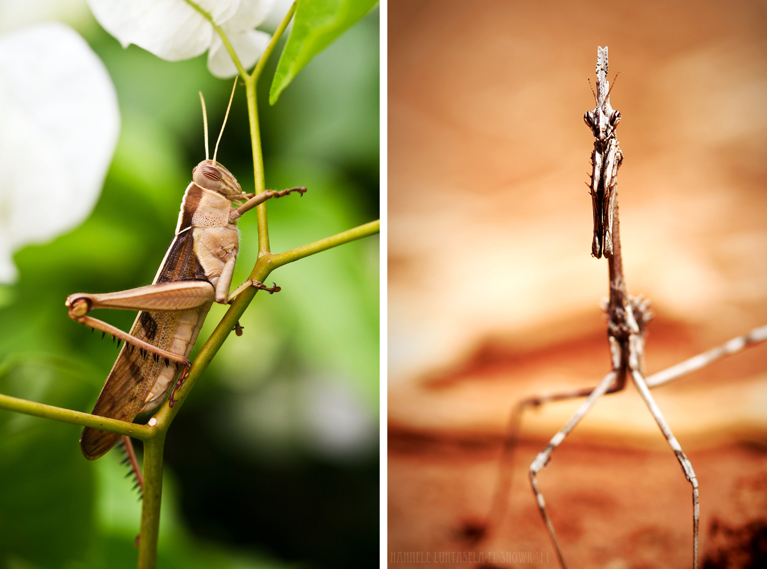 Insect photography: locust and mantis. Insect Photography Tips
