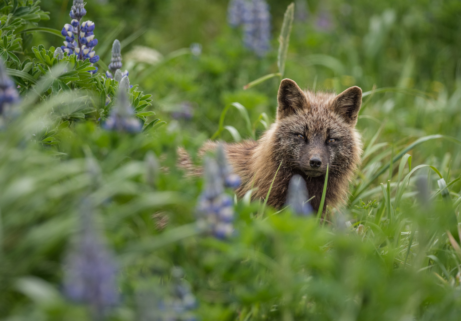 Review of the Olympus 300mm F4 PRO Lens - fox in the grass