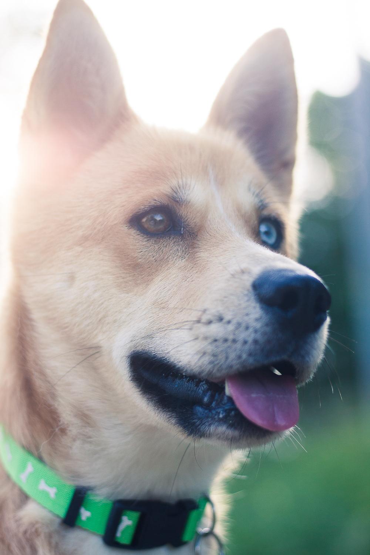 husky dog Creative Pet Photography