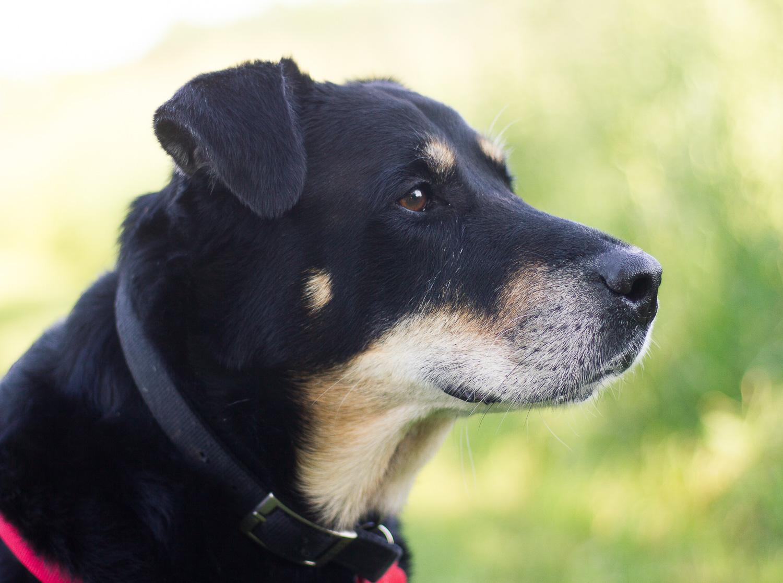 pet photography creative black dog profile