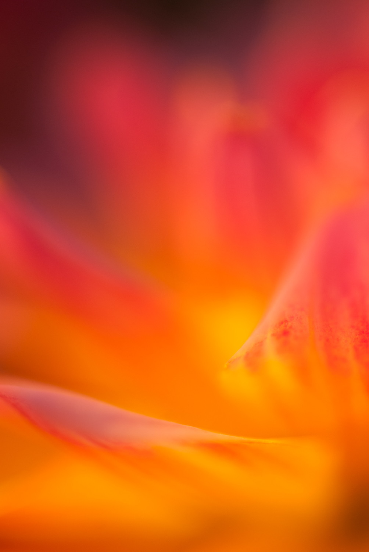 natural light macro dahlia