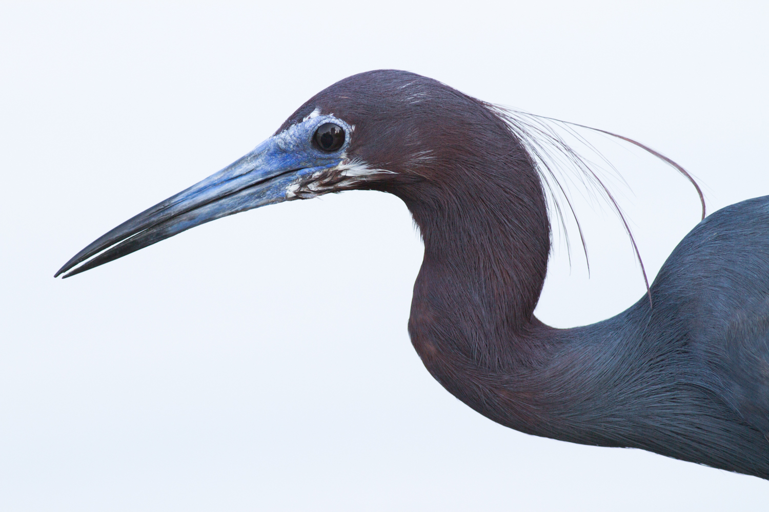 photography without tripod little blue heron