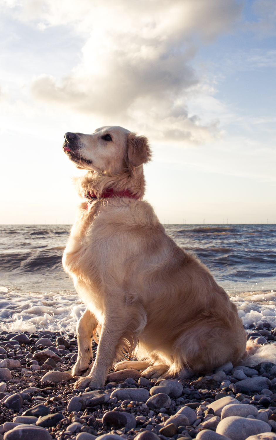 Photographing Handheld Without a Tripod - golden retriever