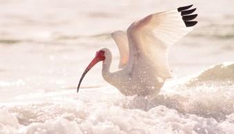 sharper images white ibis