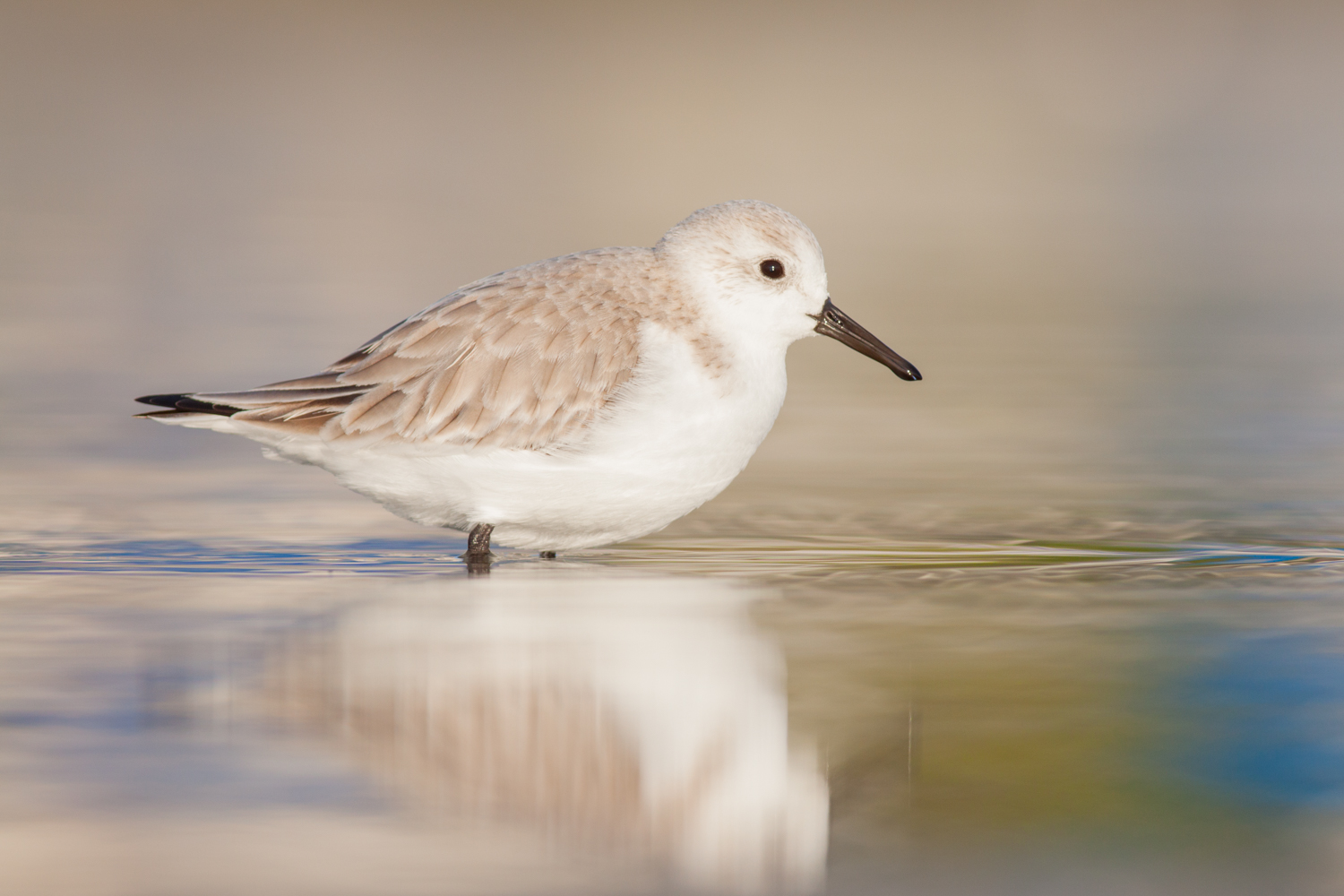 sharp images sanderling reflection
