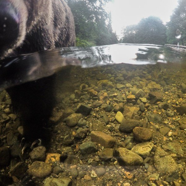 GoPro, Hero5, Underwater, Photography, Brown Bear, Coastal Brown Bear, Alaska