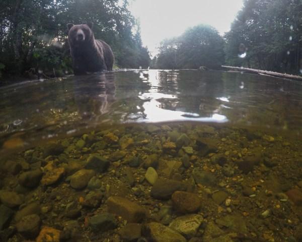 GoPro, Hero5, Underwater, Photography, Bear, Brown Bear