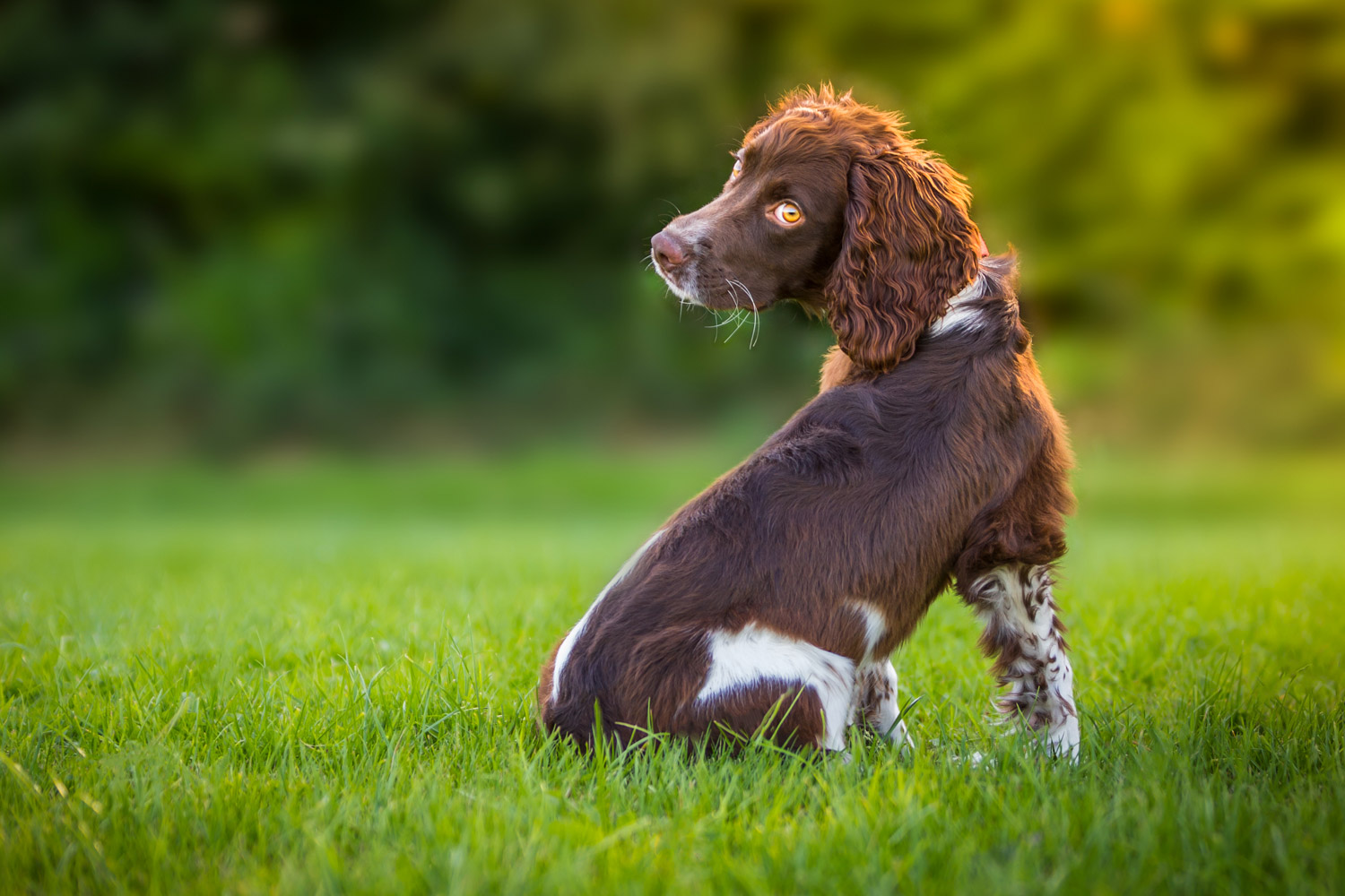 https://i1.wp.com/digital-photography-school.com/wp-content/uploads/2018/11/dog-photography-by-andrew-sproule-springer-spaniel-sussex.jpg?resize=1500%2C1000&ssl=1