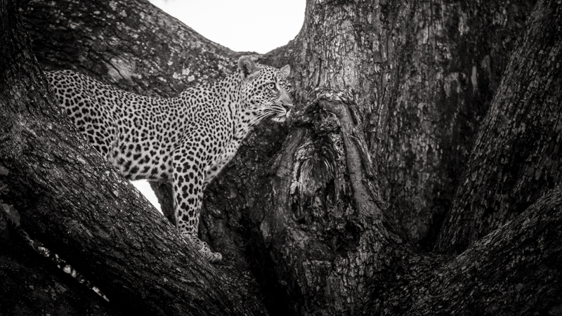 Image: Leopard, Botswana. Canon 1DX, Canon 70-200mm(at 105mm), f/2.8, ISO 400, 1/125th sec handheld....
