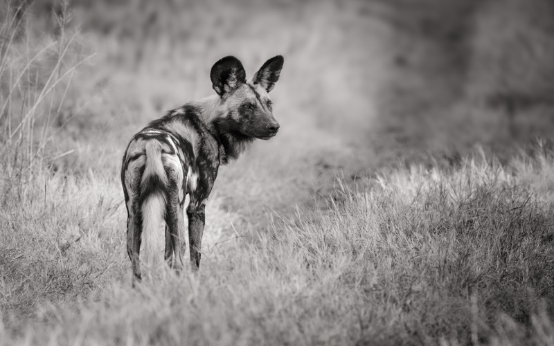 Image: Wild dog, Botswana. Canon 1DX, Canon 500mm, f/5.6, ISO 200, +2/3 EV, 1/160th sec, monopod. Im...