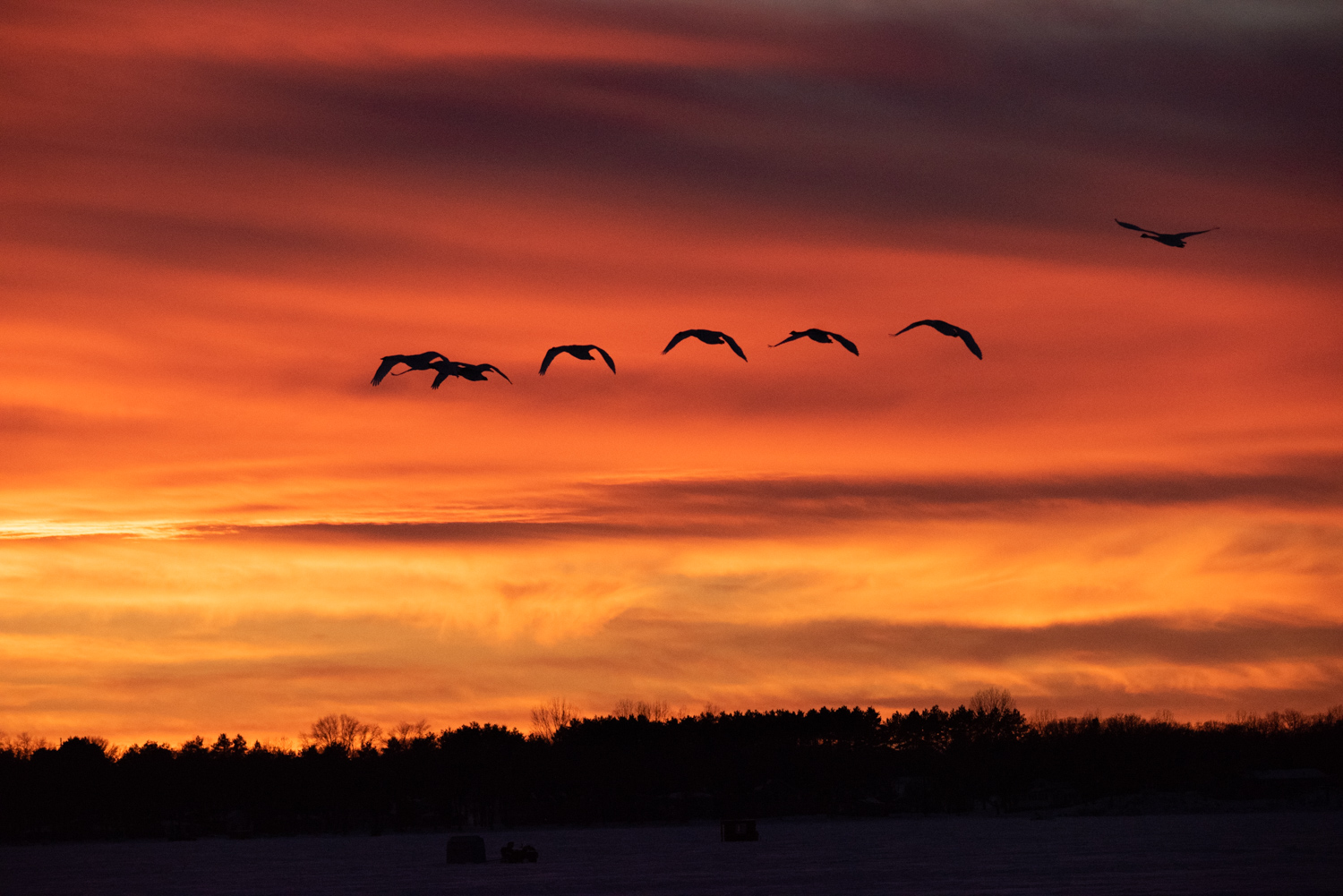 Image: I relied on the fast autofocus of the lens to lock onto this passing flock of Trumpeter Swans...
