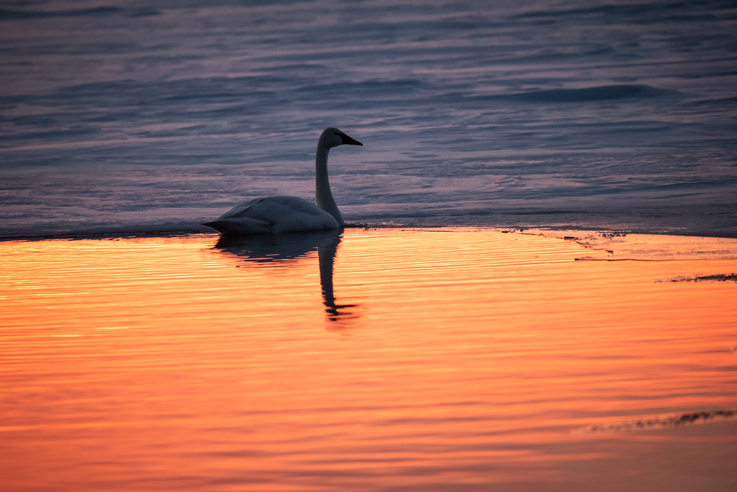 Image: This timid Trumpeter Swan wasshot using the DX crop built into my camera at an effective foc...