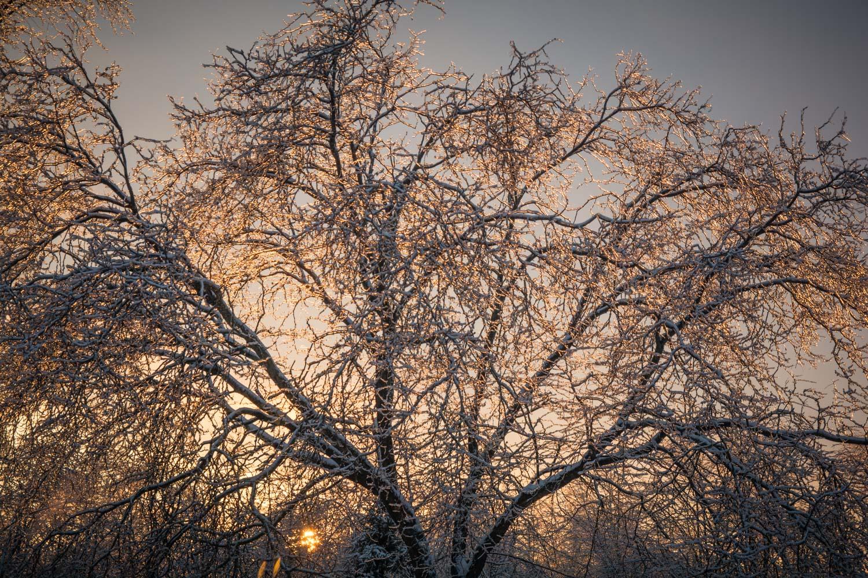 图片:这棵冰雪覆盖的树木被太阳照射。没有背光照射在树枝上,......